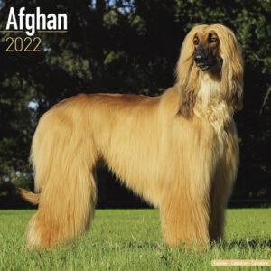 Afghaanse Windhond Kalender 2022