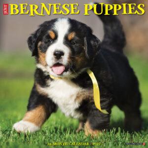 Berner Sennen Puppies Kalender 2022